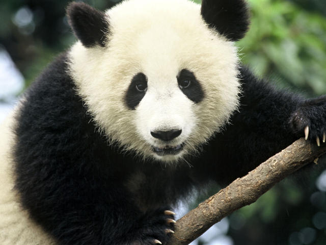 Zoo Panda Has Successful Dental Surgery!